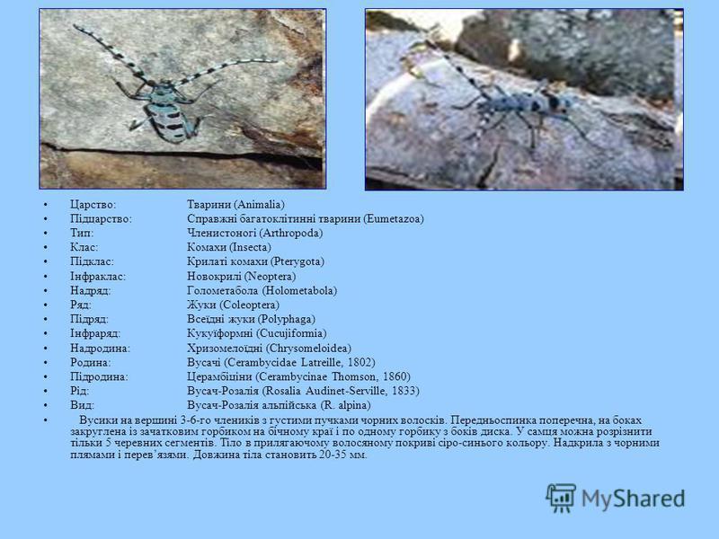 Царство:Тварини (Animalia) Підцарство:Справжні багатоклітинні тварини (Eumetazoa) Тип:Членистоногі (Arthropoda) Клас:Комахи (Insecta) Підклас:Крилаті комахи (Pterygota) Інфраклас:Новокрилі (Neoptera) Надряд:Голометабола (Holometabola) Ряд:Жуки (Coleo