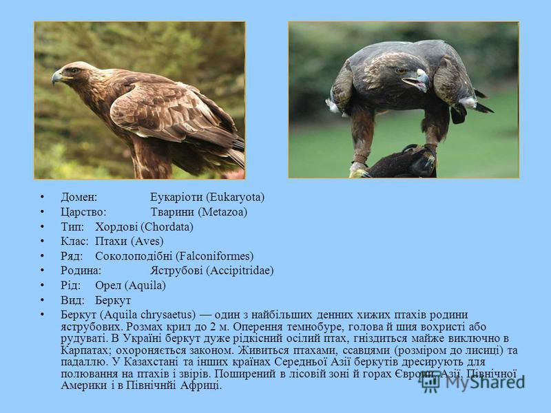 Домен:Еукаріоти (Eukaryota) Царство:Тварини (Metazoa) Тип:Хордові (Chordata) Клас:Птахи (Aves) Ряд:Соколоподібні (Falconiformes) Родина:Яструбові (Accipitridae) Рід:Орел (Aquila) Вид:Беркут Беркут (Aquila chrysaetus) один з найбільших денних хижих пт
