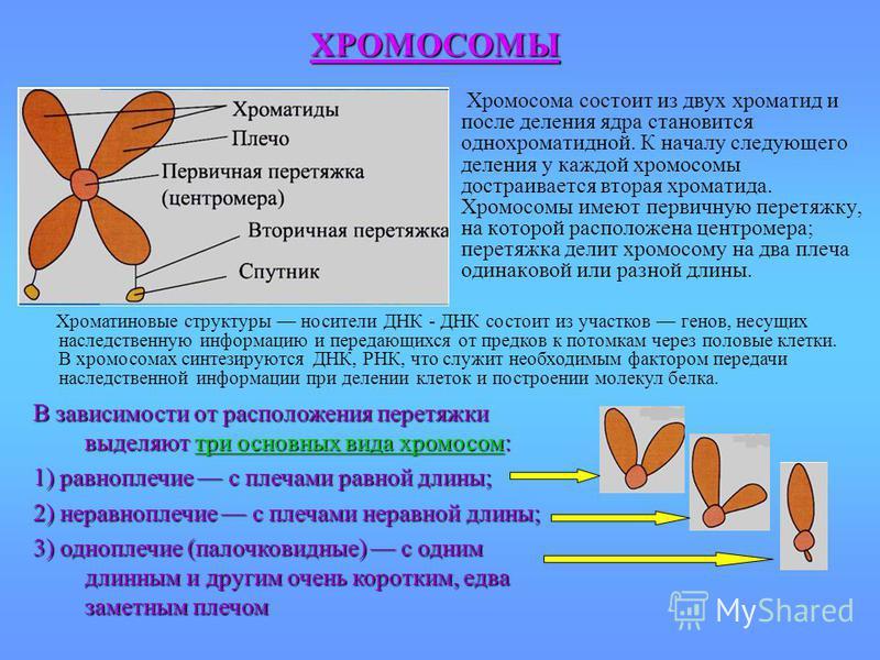 Хромосома состоит из двух хроматид и после деления ядра становится однохроматидной. К началу следующего деления у каждой хромосомы достраивается вторая хроматида. Хромосомы имеют первичную перетяжку, на которой расположена центромера; перетяжка делит
