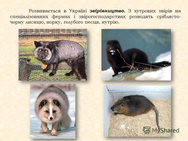 Розвивається в Україні звірівництво. З хутрових звірів на спеціалізованих фермах і звірогосподарствах розводять сріблясто- чорну лисицю, норку, голубого песця, нутрію.