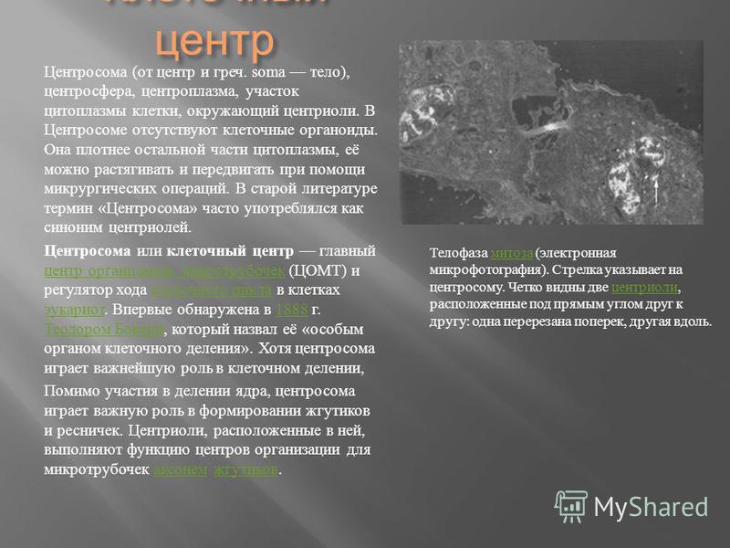Клеточный центр Центросома ( от центр и греч. soma тело ), центросфера, центроплазма, участок цитоплазмы клетки, окружающий центриоли. В Центросоме отсутствуют клеточные органоиды. Она плотнее остальной части цитоплазмы, её можно растягивать и передв