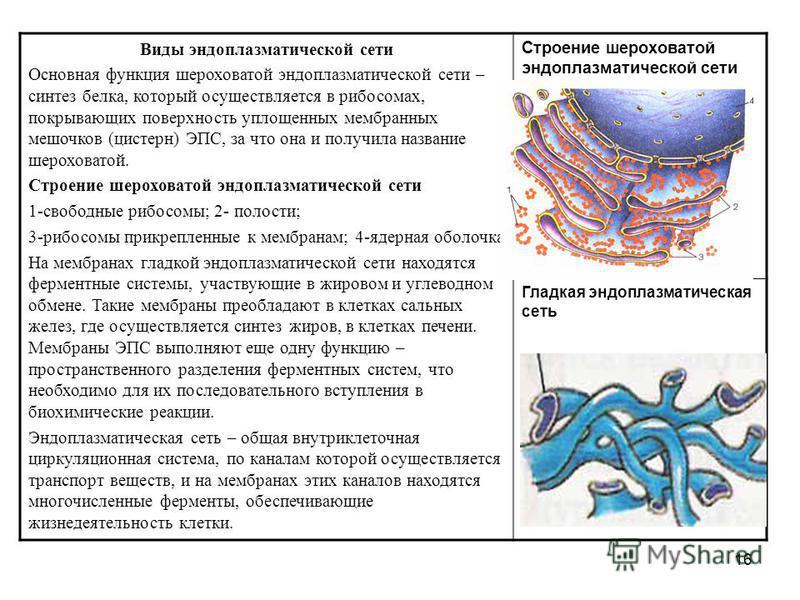 16 Виды эндоплазматической сети Основная функция шероховатой эндоплазматической сети – синтез белка, который осуществляется в рибосомах, покрывающих поверхность уплощенных мембранных мешочков (цистерн) ЭПС, за что она и получила название шероховатой.