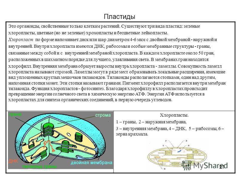 21 Пластиды Это органоиды, свойственные только клеткам растений. Существуют три вида пластид: зеленые хлоропласты, цветные (но не зеленые) хромопласты и бесцветные лейкопласты. Хлоропласт по форме напоминает диск или шар диаметром 4-6 мкм с двойной м