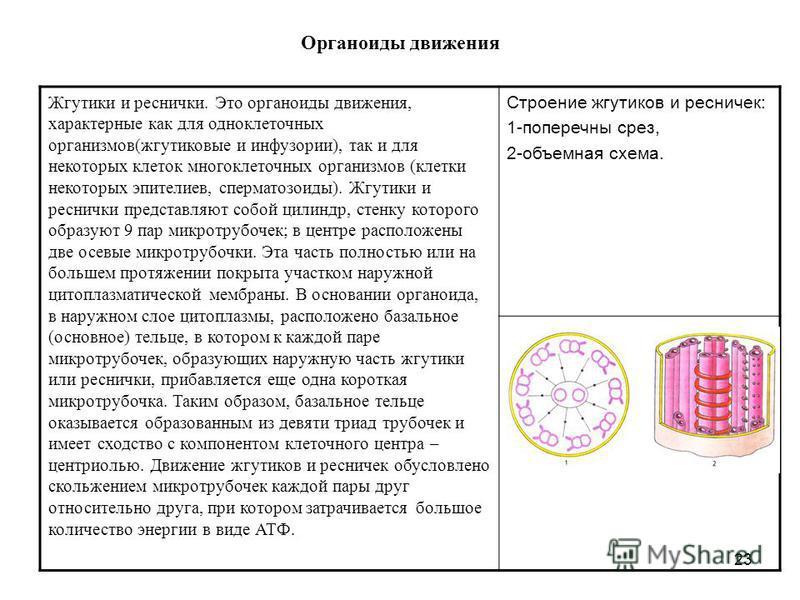 23 Органоиды движения Жгутики и реснички. Это органоиды движения, характерные как для одноклеточных организмов(жгутиковые и инфузории), так и для некоторых клеток многоклеточных организмов (клетки некоторых эпителиев, сперматозоиды). Жгутики и реснич