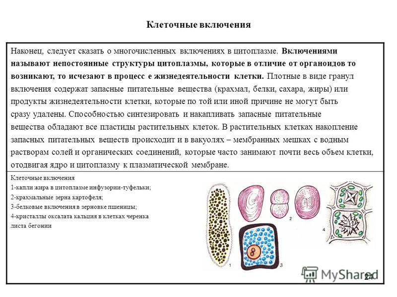 24 Клеточные включения Наконец, следует сказать о многочисленных включениях в цитоплазме. Включениями называют непостоянные структуры цитоплазмы, которые в отличие от органоидов то возникают, то исчезают в процесс е жизнедеятельности клетки. Плотные