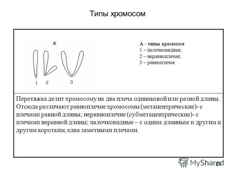29 Типы хромосом Перетяжка делит хромосому на два плеча одинаковой или разной длины. Отсюда различают равноплечие хромосомы (метацентрические)- с плечами равной длины; неравноплечие (субметацентрические)- с плечами неравной длины; палочковидные – с о