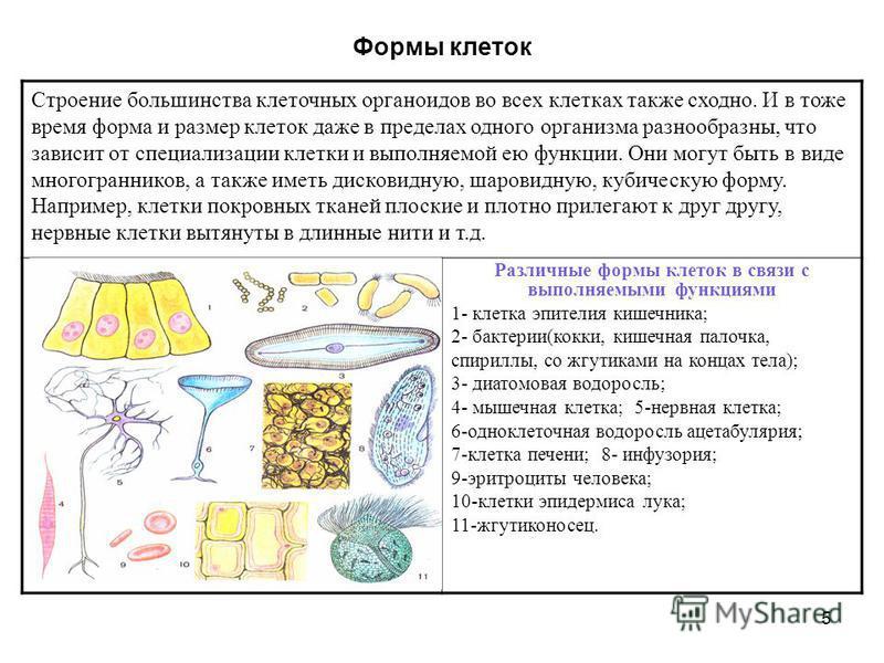 5 Формы клеток Строение большинства клеточных органоидов во всех клетках также сходно. И в тоже время форма и размер клеток даже в пределах одного организма разнообразны, что зависит от специализации клетки и выполняемой ею функции. Они могут быть в