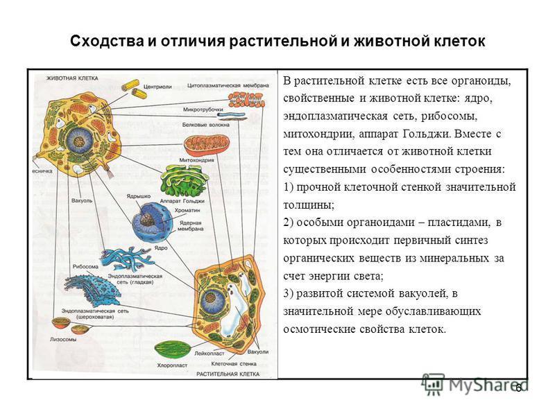 6 Сходства и отличия растительной и животной клеток В растительной клетке есть все органоиды, свойственные и животной клетке: ядро, эндоплазматическая сеть, рибосомы, митохондрии, аппарат Гольджи. Вместе с тем она отличается от животной клетки сущест