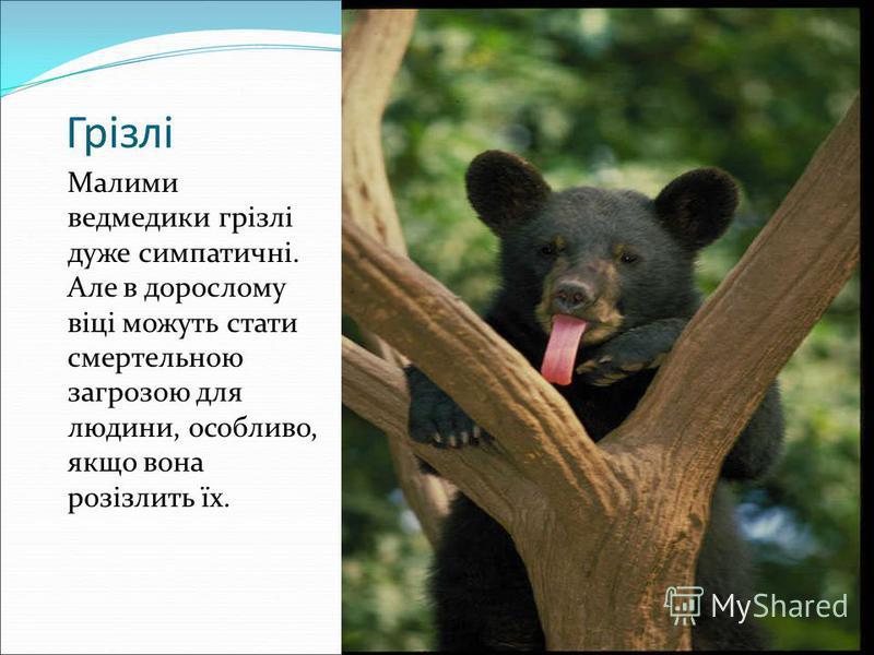 Грізлі Малими ведмедики грізлі дуже симпатичні. Але в дорослому віці можуть стати смертельною загрозою для людини, особливо, якщо вона розізлить їх.