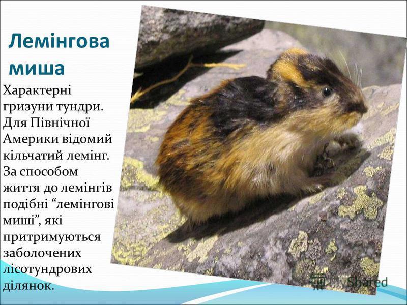 Лемінгова миша Характерні гризуни тундри. Для Північної Америки відомий кільчатий лемінг. За способом життя до лемінгів подібні лемінгові миші, які притримуються заболочених лісотундрових ділянок.