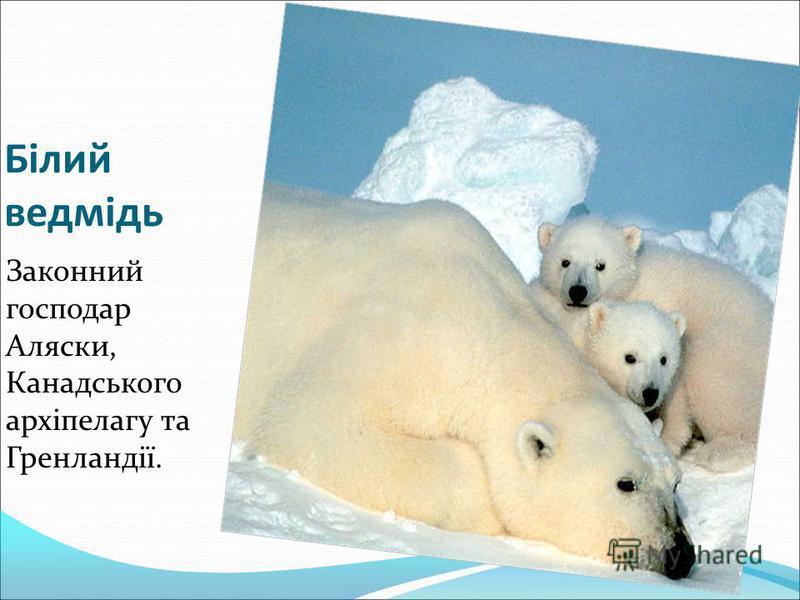 Білий ведмідь Законний господар Аляски, Канадського архіпелагу та Гренландії.