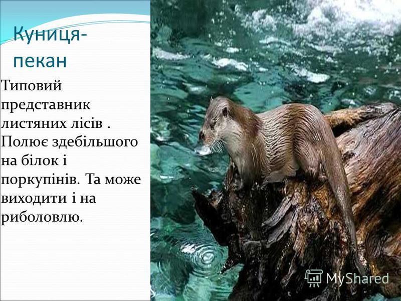 Куниця- пекан Типовий представник листяних лісів. Полює здебільшого на білок і поркупінів. Та може виходити і на риболовлю.