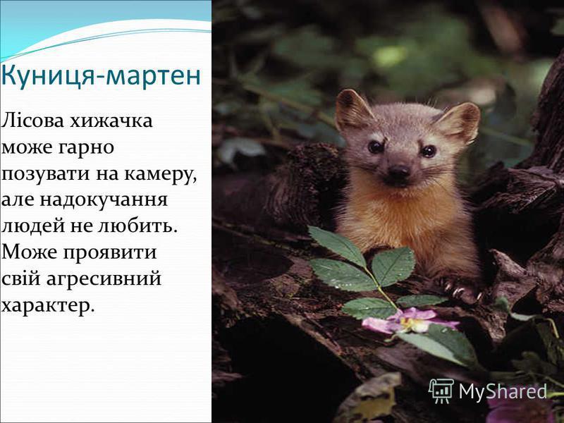 Куниця-мартен Лісова хижачка може гарно позувати на камеру, але надокучання людей не любить. Може проявити свій агресивний характер.