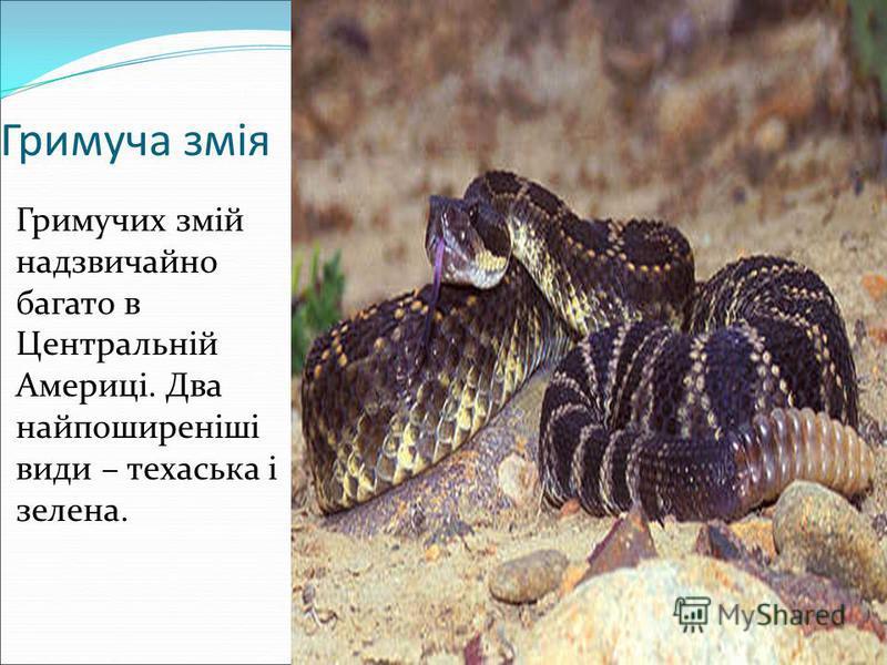 Гримуча змія Гримучих змій надзвичайно багато в Центральній Америці. Два найпоширеніші види – техаська і зелена.