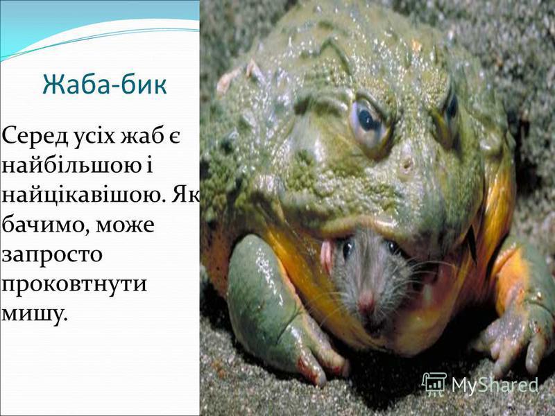 Жаба-бик Серед усіх жаб є найбільшою і найцікавішою. Як бачимо, може запросто проковтнути мишу.