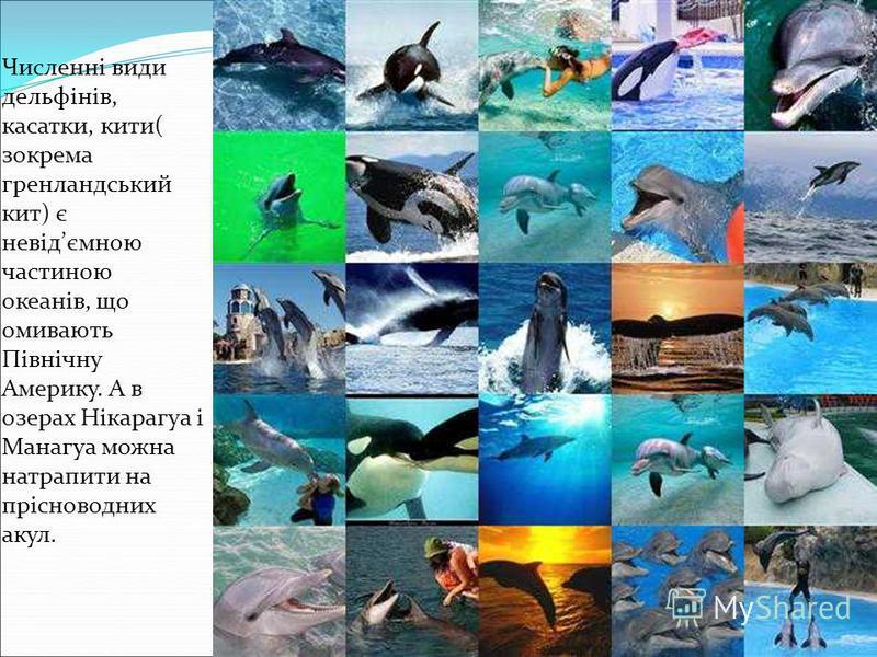 Численні види дельфінів, касатки, кити( зокрема гренландський кит) є невідємною частиною океанів, що омивають Північну Америку. А в озерах Нікарагуа і Манагуа можна натрапити на прісноводних акул.