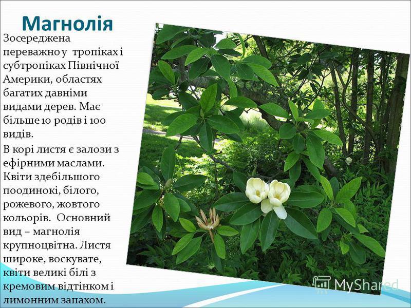 Магнолія Зосереджена переважно у тропіках і субтропіках Північної Америки, областях багатих давніми видами дерев. Має більше 10 родів і 100 видів. В корі листя є залози з ефірними маслами. Квіти здебільшого поодинокі, білого, рожевого, жовтого кольор