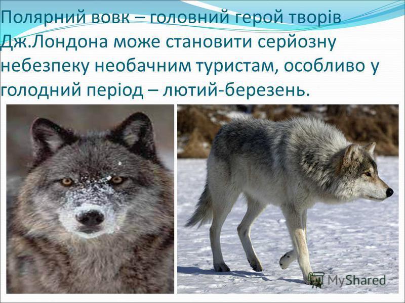 Полярний вовк – головний герой творів Дж.Лондона може становити серйозну небезпеку необачним туристам, особливо у голодний період – лютий-березень.