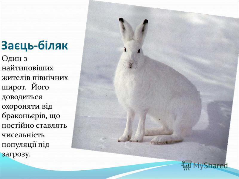 Заєць-біляк Один з найтиповіших жителів північних широт. Його доводиться охороняти від браконьєрів, що постійно ставлять чисельність популяції під загрозу.