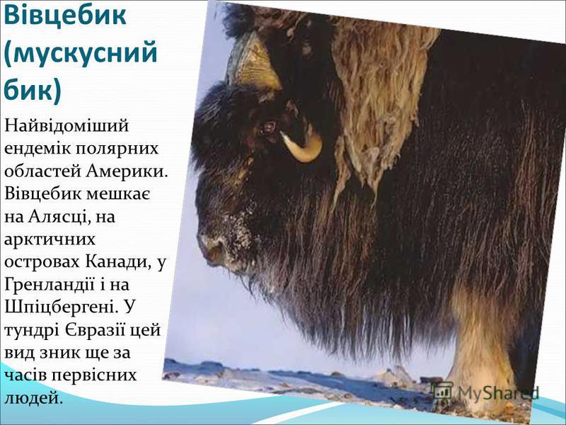 Вівцебик (мускусний бик) Найвідоміший ендемік полярних областей Америки. Вівцебик мешкає на Алясці, на арктичних островах Канади, у Гренландії і на Шпіцбергені. У тундрі Євразії цей вид зник ще за часів первісних людей.