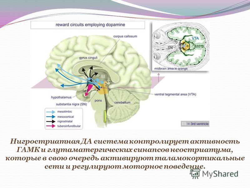 Нигростриатная ДА система контролирует активность ГАМК и глутаматгреческих синапсов неостриатума, которые в свою очередь активируют таламокортикальные сети и регулируют моторное поведение.