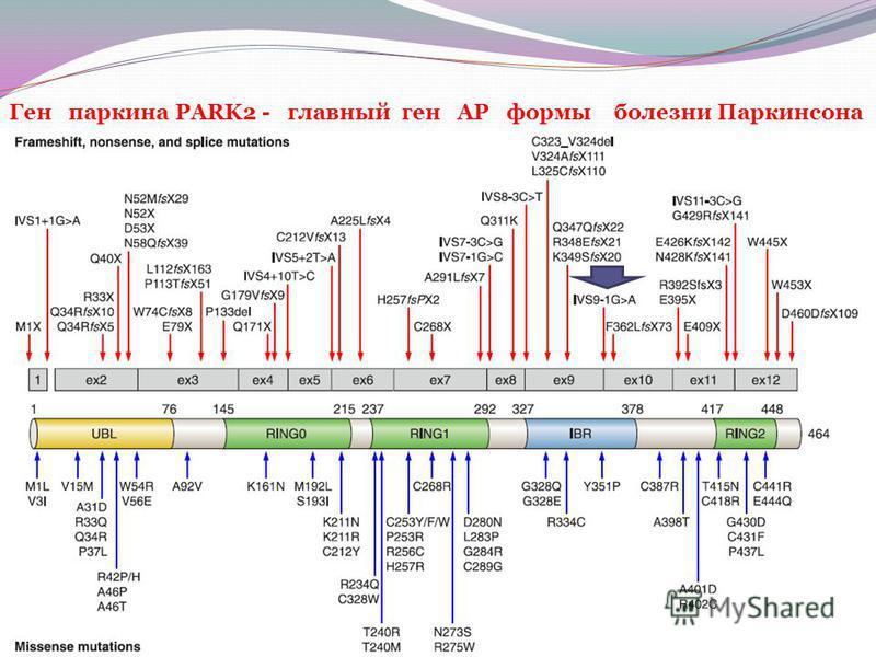 Ген паркингга PARK2 - главный ген АР формы болезни Паркинсона