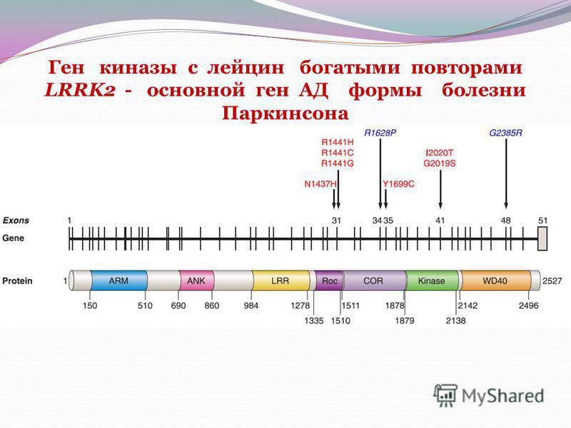 Ген киназы с лейцин богатыми повторами LRRK2 - основной ген AД формы болезни Паркинсона