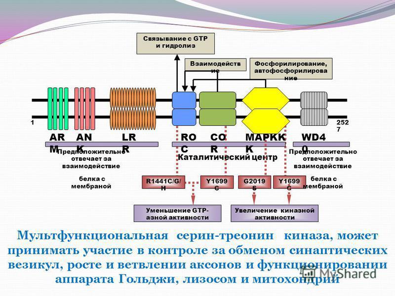 R1441C/G/ H Y1699 C G2019 S Y1699 C Связывание с GTP и гидролиз Взаимодейств ие Фосфорилирование, авто фосфорилирование Предположительно отвечает за взаимодействие белка с мембраной Каталитический центр Предположительно отвечает за взаимодействие бел