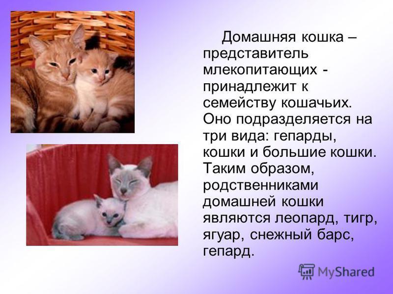 Домашняя кошка – представитель млекопитающих - принадлежит к семейству кошачьих. Оно подразделяется на три вида: гепарды, кошки и большие кошки. Таким образом, родственниками домашней кошки являются леопард, тигр, ягуар, снежный барс, гепард.