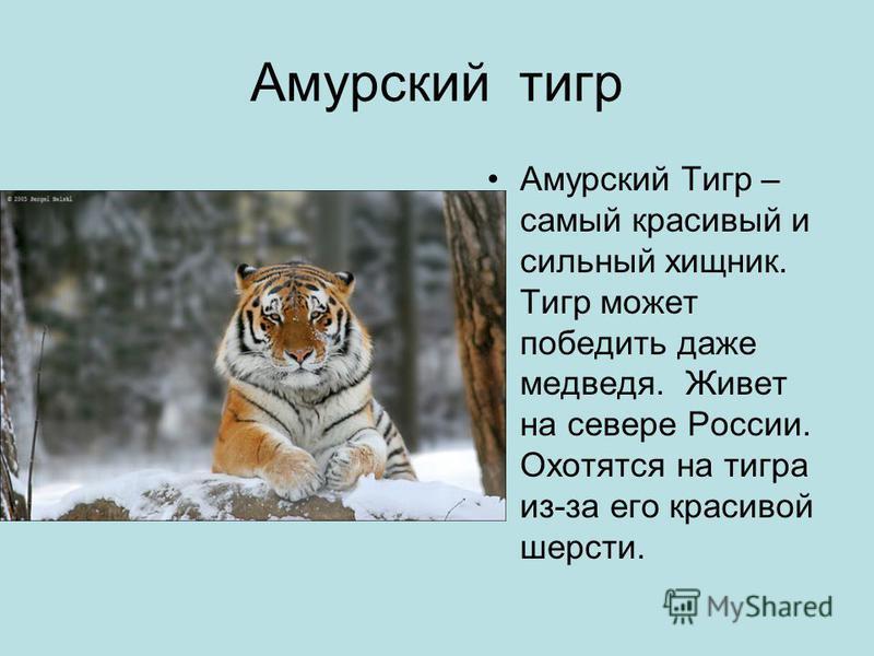 Амурский тигр Амурский Тигр – самый красивый и сильный хищник. Тигр может победить даже медведя. Живет на севере России. Охотятся на тигра из-за его красивой шерсти.