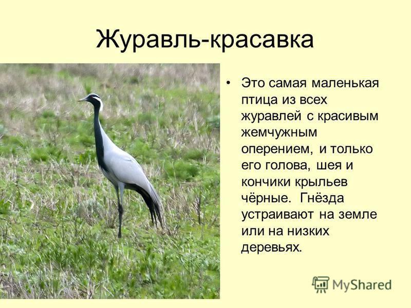 Журавль-красавка Это самая маленькая птица из всех журавлей с красивым жемчужным оперением, и только его голова, шея и кончики крыльев чёрные. Гнёзда устраивают на земле или на низких деревьях.