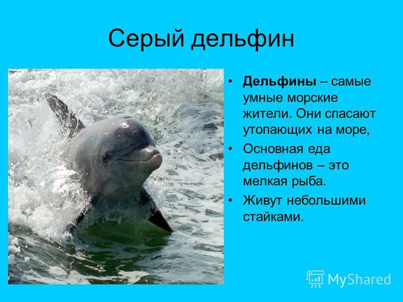 Серый дельфин Дельфины – самые умные морские жители. Они спасают утопающих на море, Основная еда дельфинов – это мелкая рыба. Живут небольшими стайками.