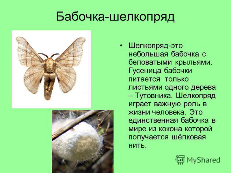 Бабочка-шелкопряд Шелкопряд-это небольшая бабочка с беловатыми крыльями. Гусеница бабочки питается только листьями одного дерева – Тутовника. Шелкопряд играет важную роль в жизни человека. Это единственная бабочка в мире из кокона которой получается
