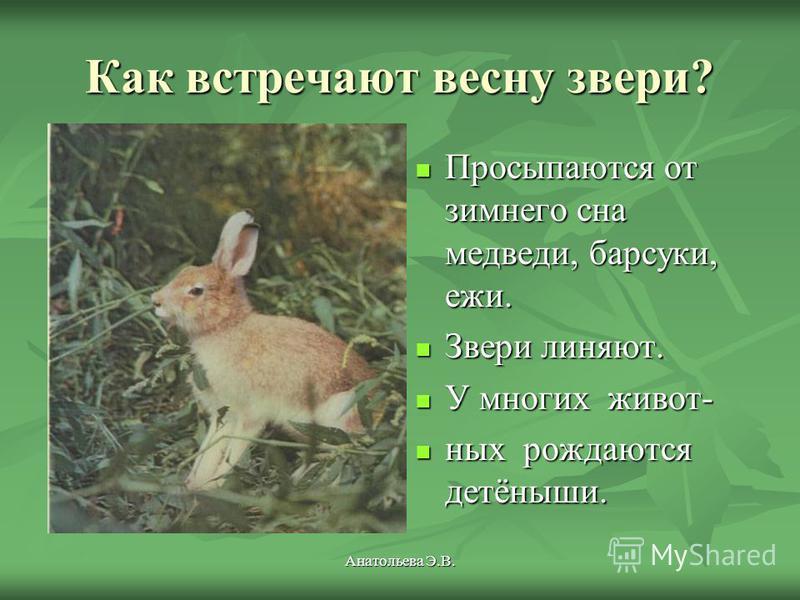 Анатольева Э.В. Как встречают весну звери? Просыпаются от зимнего сна медведи, барсуки, ежи. Просыпаются от зимнего сна медведи, барсуки, ежи. Звери линяют. Звери линяют. У многих живот- У многих животних рождаются детёныши. них рождаются детёныши.