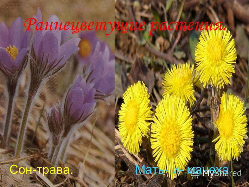 Анатольева Э.В. Раннецветущие растения. Сон-трава. Мать- и- мачеха