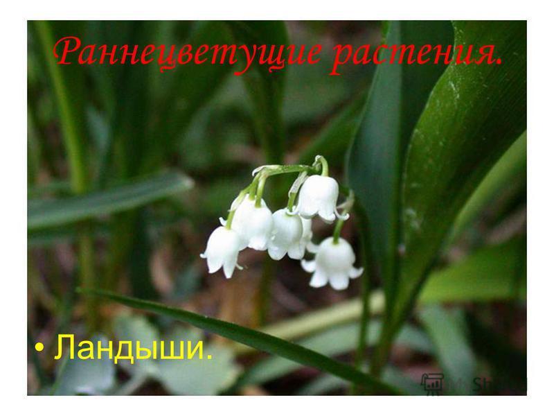 Анатольева Э.В. Раннецветущие растения. Ландыши.