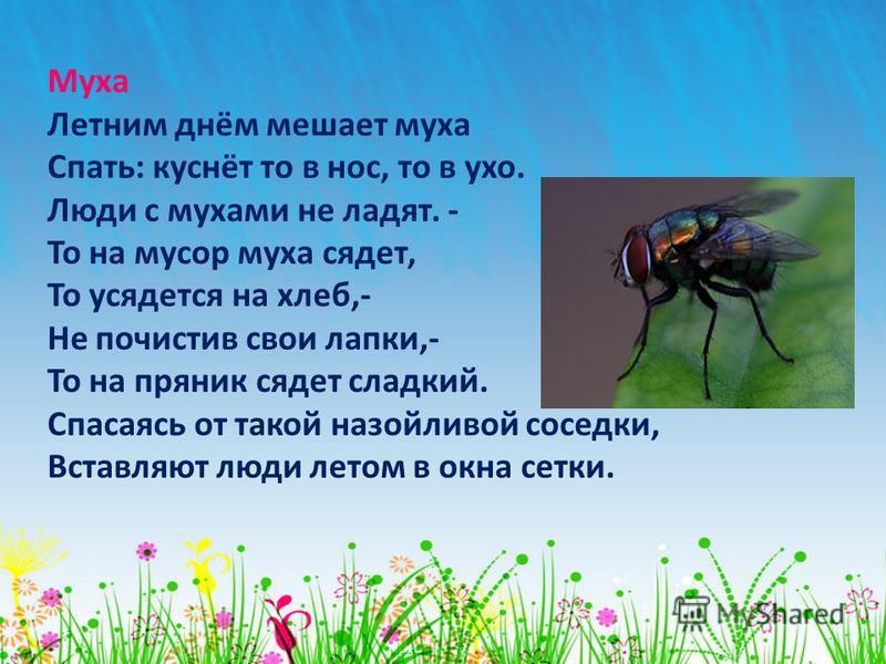 Муха Летним днём мешает муха Спать: куснёт то в нос, то в ухо. Люди с мухами не ладят. - То на мусор муха сядет, То усядется на хлеб,- Не почистив свои лапки,- То на пряник сядет сладкий. Спасаясь от такой назойливой соседки, Вставляют люди летом в о