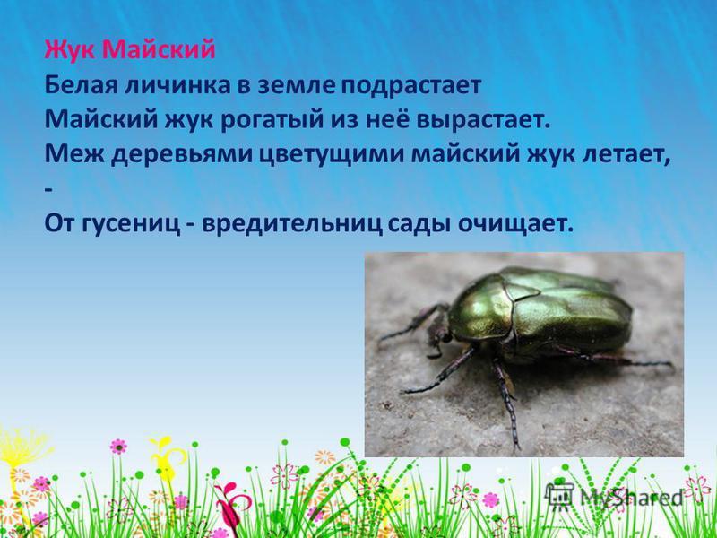 Жук Майский Белая личинка в земле подрастает Майский жук рогатый из неё вырастает. Меж деревьями цветущими майский жук летает, - От гусениц - вредитель ниц сады очищает.