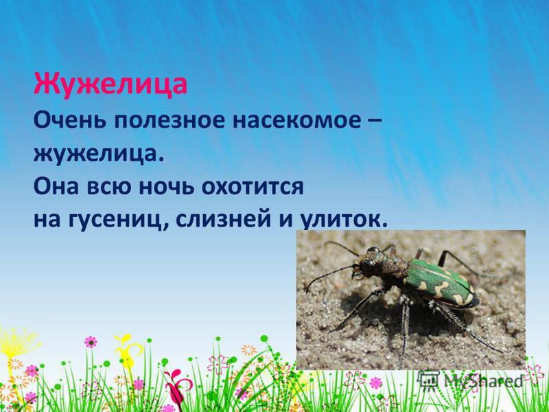 Жужелица Очень полезное насекомое – жужелица. Она всю ночь охотится на гусениц, слизней и улиток.