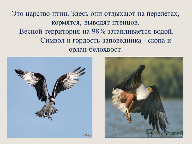 Это царство птиц. Здесь они отдыхают на перелетах, кормятся, выводят птенцов. Весной территория на 98% затапливается водой. Символ и гордость заповедника - скопа и орлан-белохвост.