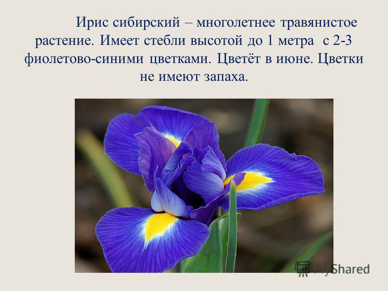Ирис сибирский – многолетнее травянистое растение. Имеет стебли высотой до 1 метра с 2-3 фиолетово-синими цветками. Цветёт в июне. Цветки не имеют запаха.