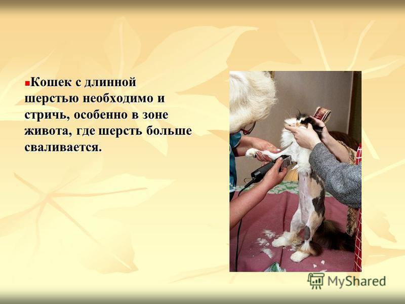Кошек с длинной шерстью необходимо и стричь, особенно в зоне живота, где шерсть больше сваливается. Кошек с длинной шерстью необходимо и стричь, особенно в зоне живота, где шерсть больше сваливается.