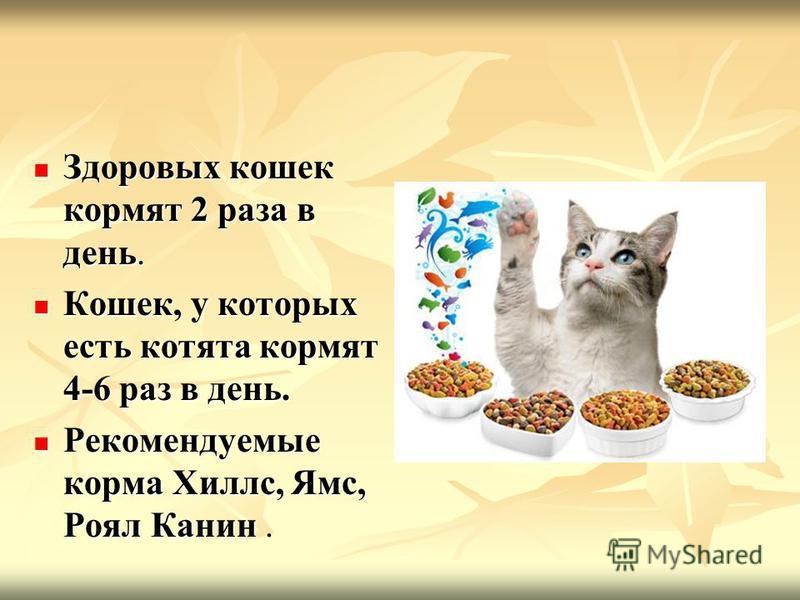 Чем кормить британскую кота в домашних условиях