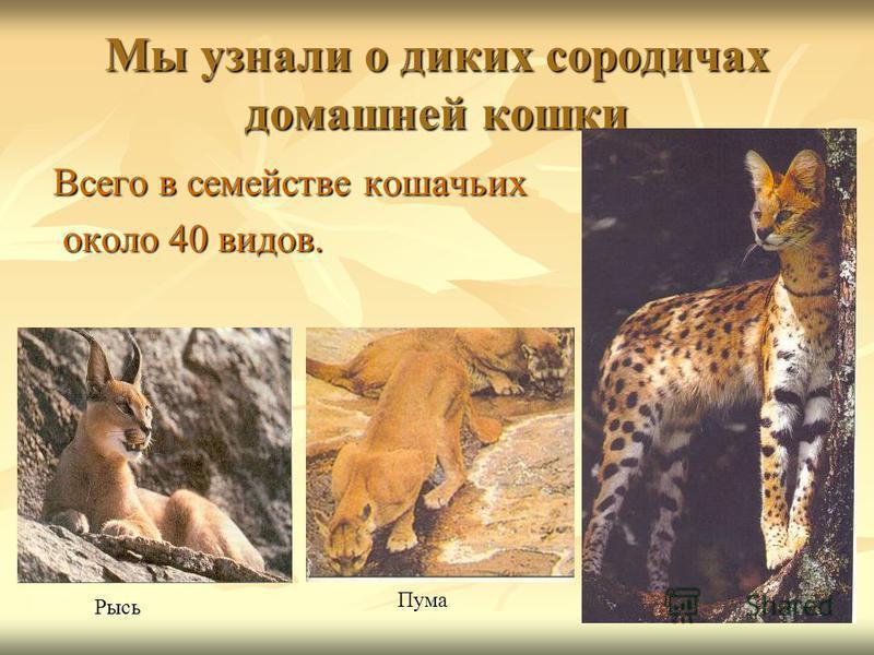 Мы узнали о диких сородичах домашней кошки Всего в семействе кошачьих около 40 видов. около 40 видов. Рысь Пума