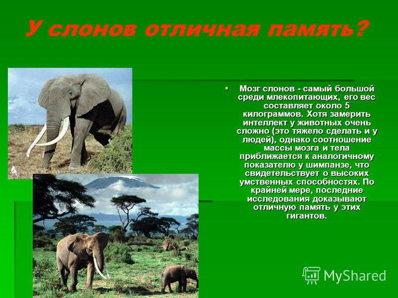 У слонов отличная память? Мозг слонов - самый большой среди млекопитающих, его вес составляет около 5 килограммов. Хотя замерить интеллект у животных очень сложно (это тяжело сделать и у людей), однако соотношение массы мозга и тела приближается к ан