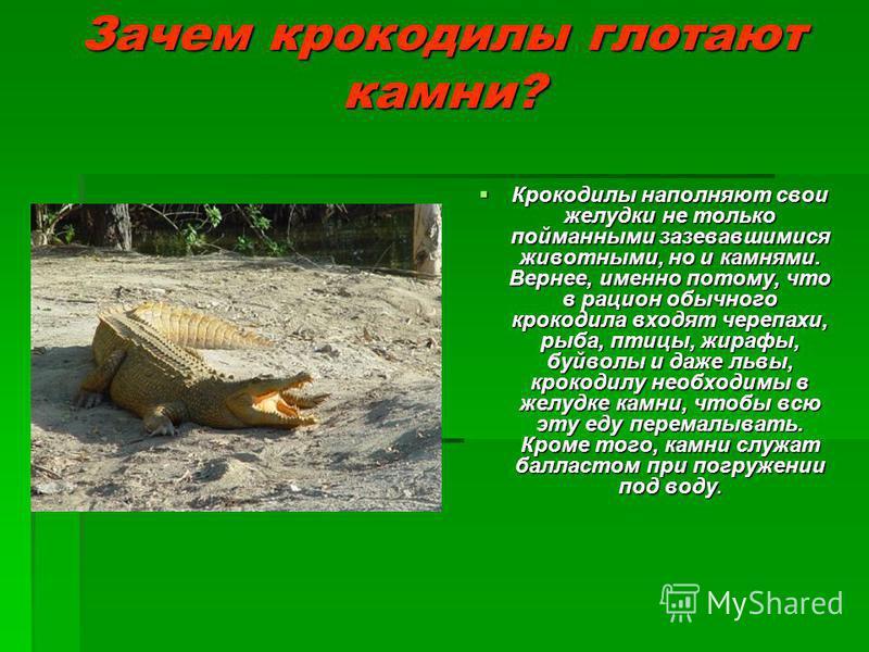 Зачем крокодилы глотают камни? Крокодилы наполняют свои желудки не только пойманными зазевавшимися животными, но и камнями. Вернее, именно потому, что в рацион обычного крокодила входят черепахи, рыба, птицы, жирафы, буйволы и даже львы, крокодилу не