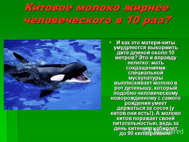 Китовое молоко жирнее человеческого в 10 раз? И как это матери-киты умудряются выкормить дите длиной около 10 метров? Это и вправду нелегко: мать сокращениями специальной мускулатуры выплескивает молоко в рот детенышу, который подобно человеческому н