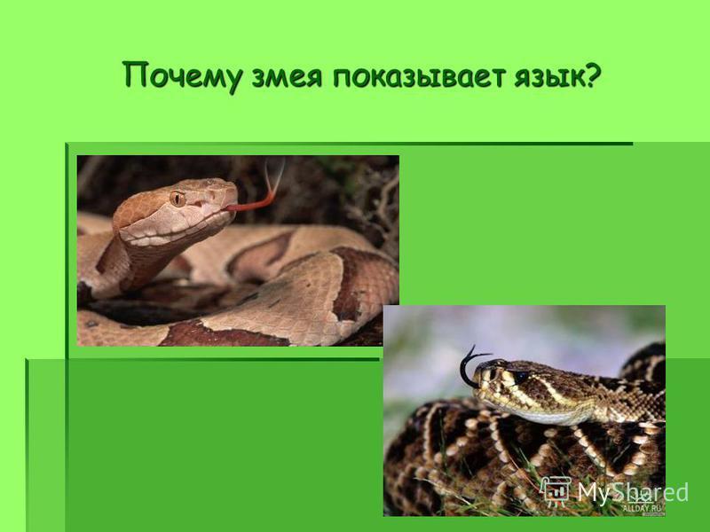 Почему змея показывает язык?