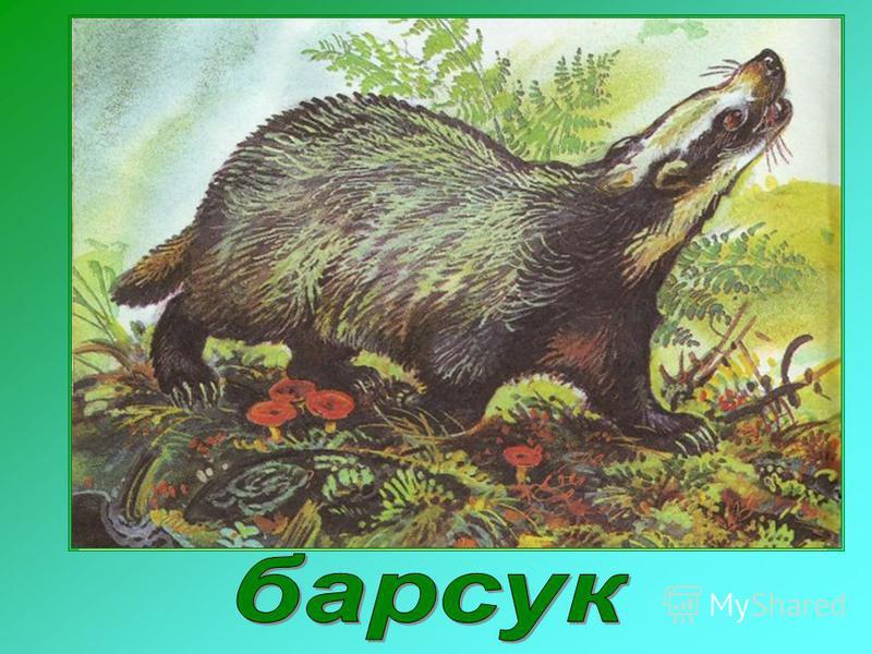 Я очень осторожный зверь. Охочусь ночью. Тело покрыто серебристо-серой жёсткой щетиной. От носа тянутся белые полосы. Осенью нагуливаю жир – готовлюсь к зиме. Питаюсь грызунами, лягушками, ящерицами, выкапываю червей. К холодам ложусь спать.