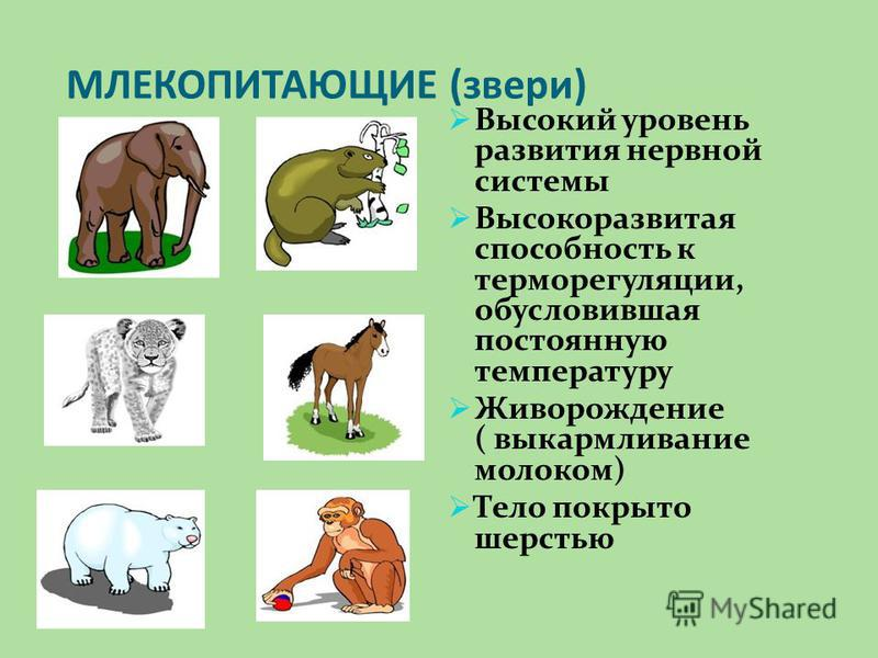 ЖИВОТНЫЕ – ЖИВЫЕ СУЩЕСТВА Название животное происходит от слов живет, жизнь Животное: питается,дышит, растет, размножается, стареет, умирает спит, играет, преследует жертву,лежит, ласкается, приветствует
